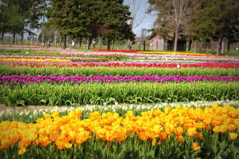Holland-Tulip-Festival-Picture-5 (1)