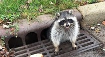 ct-ctlh-ct-lns-zion-raccoon-stuck-1-20171102