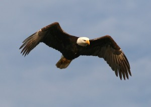 bald-eagle-flight-sun-ng-01_filtered